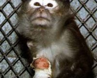 URGENT!: Stop Nepal Sending Monkeys To Labs