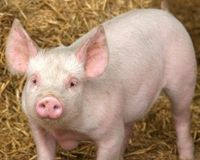 Stop the Military Using Live Pigs in Medical Training