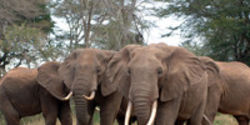 Save Elephants: End International Ivory Trade