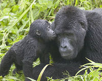 Save Congo's Gorillas