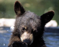 Cuomo: Protect New York's Wild Black Bears