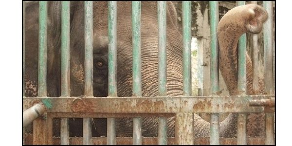 Sanctuary for Mali- Manila Zoo's Lone Elephant