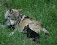 Retire Grazing Permits and Give Mexican Wolves Freedom to Roam