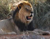 Protec African lions from unsustainable hunting