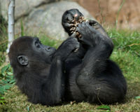 Protect Gorillas From Deforestation