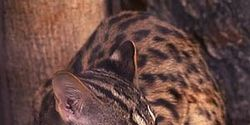 Save The Critically Endangered Iriomote Cat!