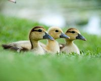 Support The Foie Gras Ban In New York