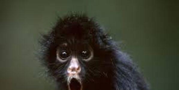 information about black spider monkey