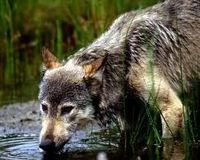 A COMPLETE BAN ON THE HUNTING OF MONTANA WOLVES/TAKING IN TO ACCOUNT OUR ALTERNATIVES