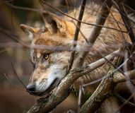 Save wolves, animals and wild life. Learn the truth about wild life. Enforce harsh pushiments