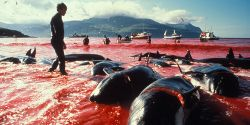 End Whale & Dolphin Slaughter in the Faroe Islands!