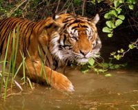 Stop Tiger Poaching in India