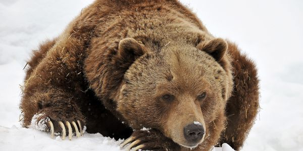 Protect Grizzly Bears' Habitat!
