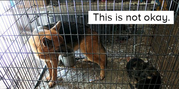 Demand Justice for 39 German Shepherds Seized from Deplorable Conditions