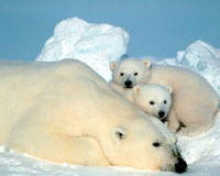 Fight Climate Change and Save the Polar Bears