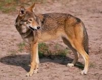 N. Carolina- Stop Killing Endangered Red Wolves