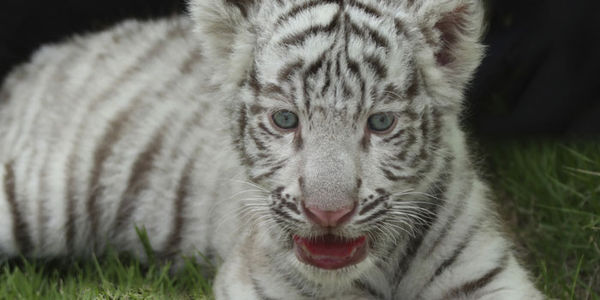petition wild things stop forcing baby tigers to swim with tourists
