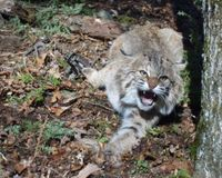 End Trapping of Bobcats in New Hampshire -- Permanently