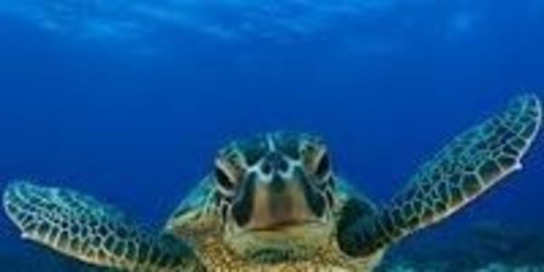 Save the Green Sea Turtle