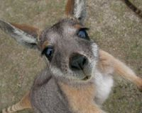 Stop promoting use of kangaroo meat
