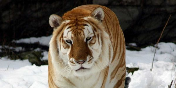 Release The Only Golden Tabby Tigers from Zoos ,Circus to Their Original Habitat