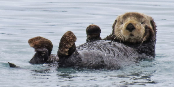 Save the Sea Otter from the Effects of Climate Change!