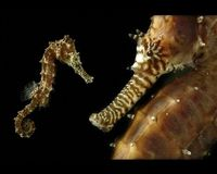 Protect Seahorses from Extinction