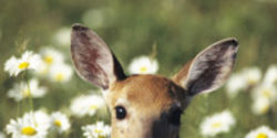 Drop Charges Against Couple For Saving a Baby Deer