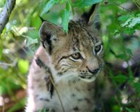 Include Lynx Protection in Recovery Plans