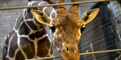 STOP KILLING ANIMALS LIKE MARIUS THE GIRAFFE IN ZOOS Stop aux meurtres dans les zoos