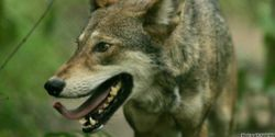 Who's Killing Endangered Red Wolves in North Carolina?
