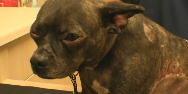 Milwaukee Police: Find and Prosecute Person who Stole Dog, Set Her On Fire and Left Her to Die!