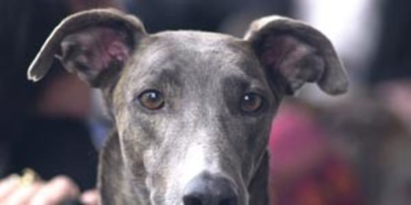 Demand Greyhounds Australasia stops the live export of greyhound dogs to Macau