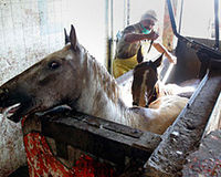 Please STOP the SLAUGHTER and transport of HORSES.