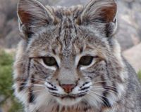 Urge the California Senate to Protect California's Bobcats