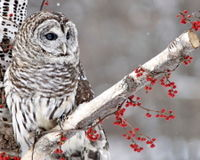Stop the Barred Owl Cull!