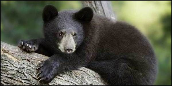 Protect Florida Black Bears from Hunting
