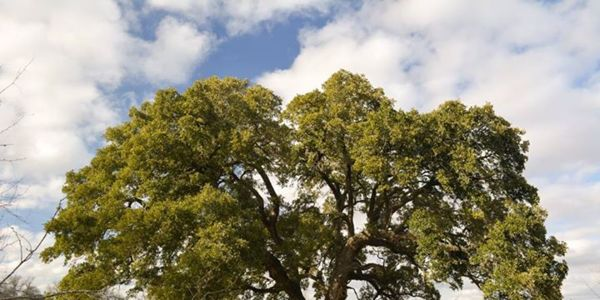STOP the STATE of TEXAS from Destroying 500 Year Old Live Oak Tree and Forest!!