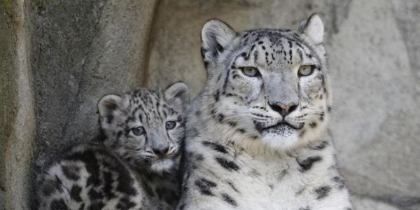 Stop Killing Snow Leopards for