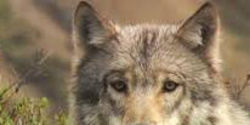 Halt Plans to Kill Mexican Wolf