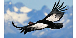 Save Condors from Extinction