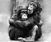 Save the Last Chimps of Cameroon