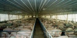 Please help the Animals in the Danish Agriculture