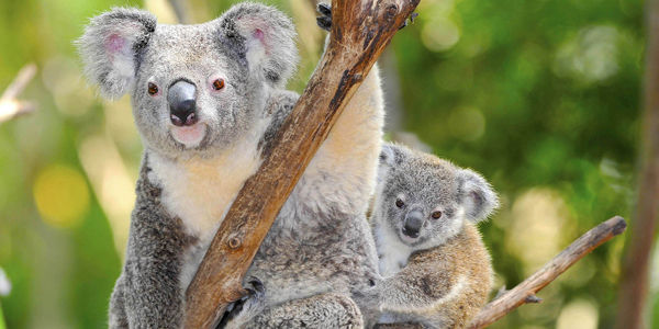Protect Ballina's Koalas from the Bulldozers