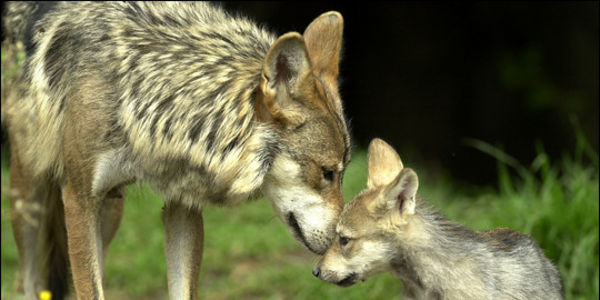 Give Endangered Mexican Wolves a Chance to Thrive!