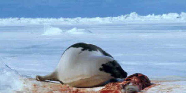 Stop the massive slaughter of the defenceless Baby Seals