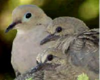 SAVE THE DOVES IN ILLINOIS