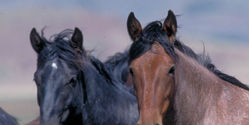Protect Utah Horses from Roundup