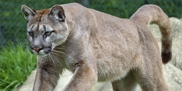 Change Laws in California that Permits Homeowners To Shoot Mountain Lions