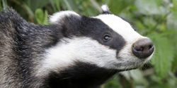 Stop Future Badger Culls!